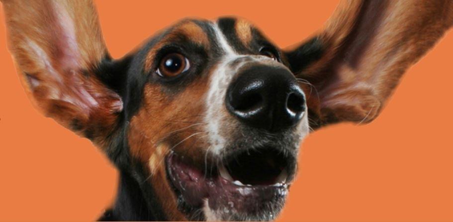 happy dog ears